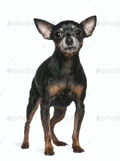 Miniature Pinscher, 7 years old, standing in front of white background