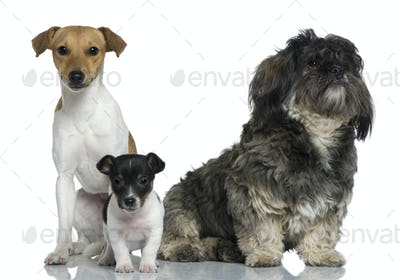 Adult and puppy Jack Russell Terrier with Shih Tzu sitting in front of white background