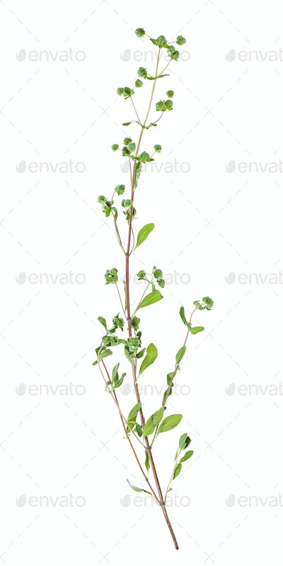 twig with buds of fresh marjoram herb isolated