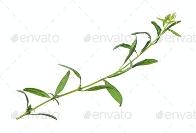 shoot of fresh hyssop (hyssopus) herb isolated