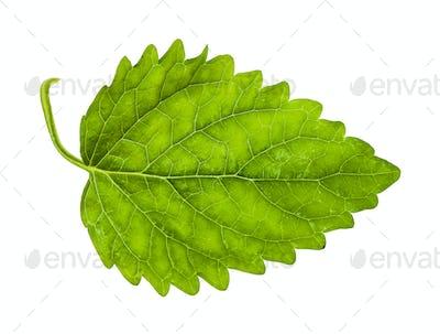 green leaf of lemon balm herb isolated