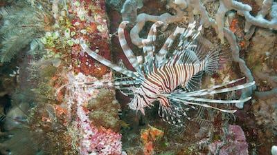 Lionfish off Bali