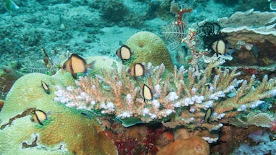 Damselfish Sheltering in Coral