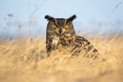 Fierce european eagle owl looking into camera intensely with orange eyes