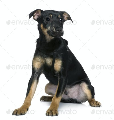 Mixed-breed dog, 4 months old, sitting in front of white background