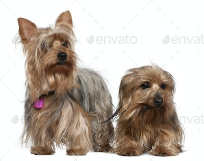 Two Yorkshire terriers, 3 and 6 years old, in front of white background