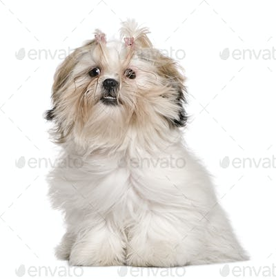 Shih Tzu, 8 months old, sitting in front of white background