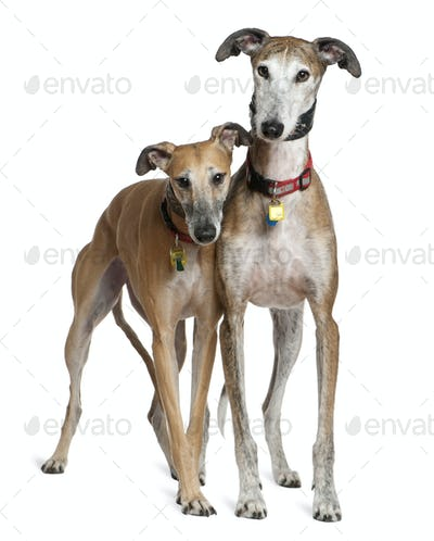 Two Galgo espanols, 3 and 6 years old, standing in front of white background