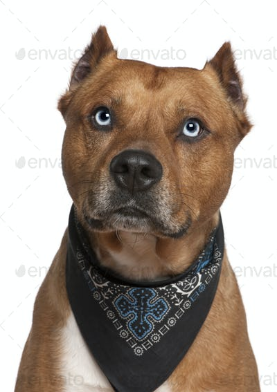 American Staffordshire terrier wearing handkerchief, 2 years old, in front of white background