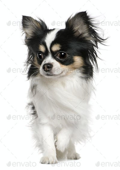 Chihuahua, 3 months old, in front of white background
