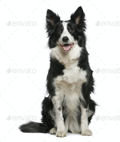 Border Collie, 10 years old, sitting in front of white background
