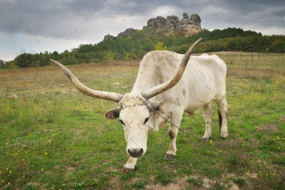Big white bull with big horns.