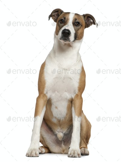 Levrier dog, 2 and a half years old, sitting in front of white background