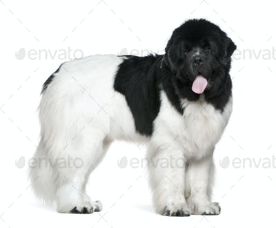 Newfoundland dog, 16 months old, standing in front of white background