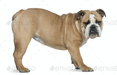English bulldog, 6 months old, standing in front of white background