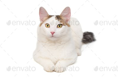 Cat is white with spots