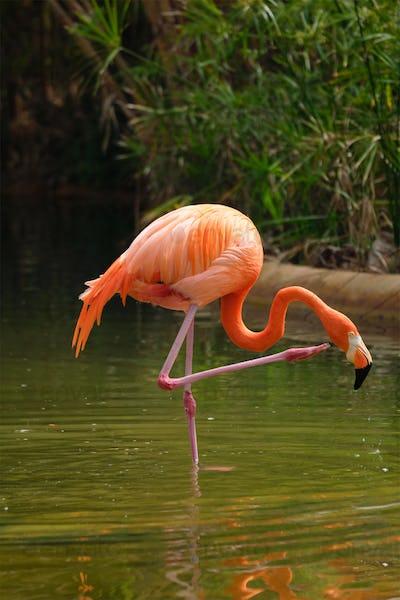 American flamingo Phoenicopterus ruber bird