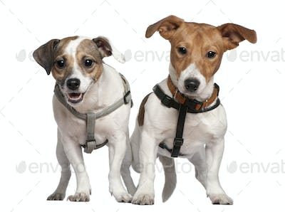 Portrait of two Jack Russell terriers, 2 years old, in front of white background