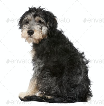 Rear view of a Crossbreed looking at the camera, 4 months old, sitting in front of white background