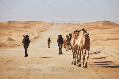 Herd of camels walking on sand road