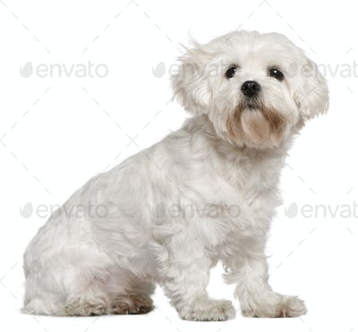 Maltese, 3 years old, sitting in front of white background