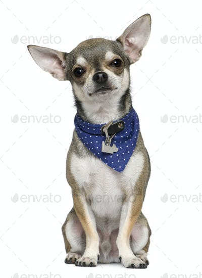 Chihuahua wearing blue handkerchief, 3 years old, sitting in front of white background