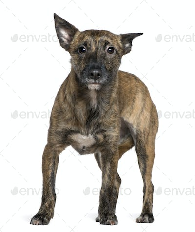 Mixed-breed dog, 16 months old, standing in front of white background