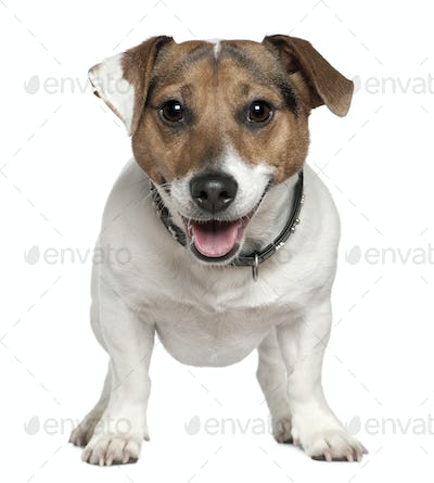 Jack Russell Terrier, 2 and a half years old, standing in front of white background