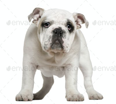 English bulldog puppy, 5 months old, standing in front of white background