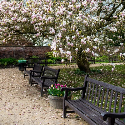 Light Pink Magnolia Tree in English Garden
