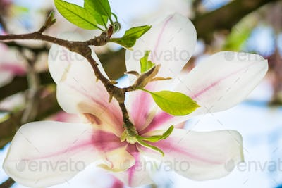 Pink or Purple Magnolia Tree with Blooming Flowers