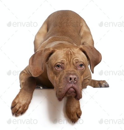 Dogue de Bordeaux, 8 months old, sitting in front of white background