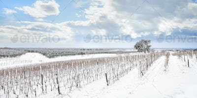 Bolgheri vineyards rows covered by snow in winter. Castagneto Carducci, Italy