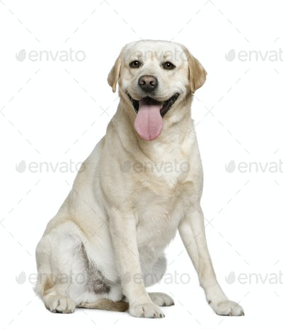 Labrador Retriever, 15 months old, sitting in front of white background