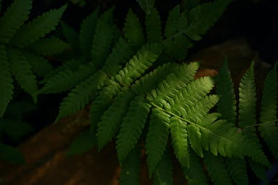Light and shade on fern leaves