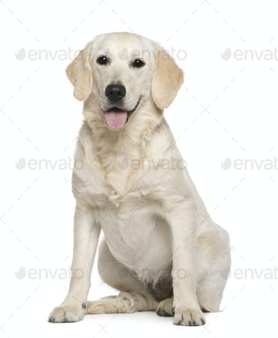 Golden Retriever, 6 months old, sitting in front of white background