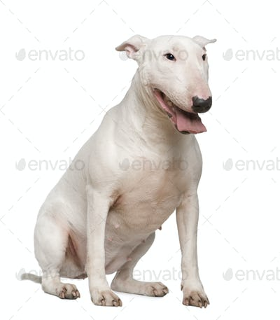Bull Terrier, 2 years old, sitting in front of white background