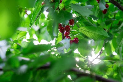 Ripe red cherries hanging from a cherry tree branch.