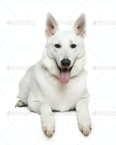 Swiss Shepherd dog, 1 year old, lying in front of white background