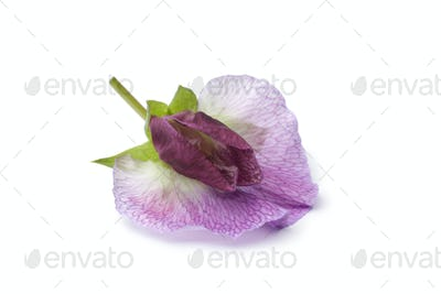 Single fresh Sweet pea flower