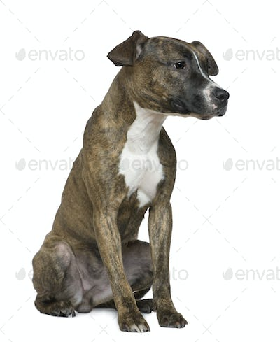 American Staffordshire Terrier, 9 months old, sitting in front of white background
