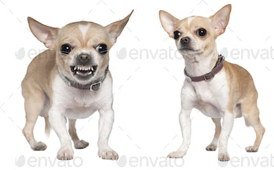 Chihuahua, 2 years old, standing in front of white background