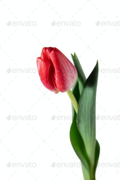 Close up of beautiful tulip isolated on white background