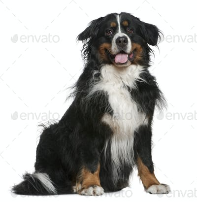 Bernese mountain dog, 5 years old, sitting in front of white background