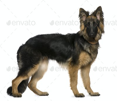 German Shepherd dog, 7 months old, standing in front of white background