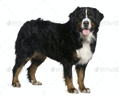 Bernese mountain dog, 2 and a half years old, standing in front of white background