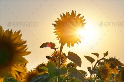 Big sunflower and sky.