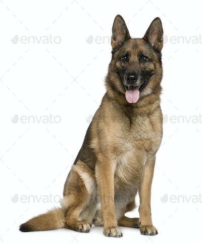 German Shepherd dog, 7 years old, sitting in front of white background
