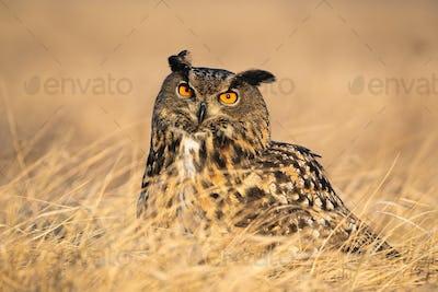Curious eurasian eagle-owl with ears on a sunny day