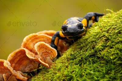 Close-up front view of a fire salamander on moss and fungus